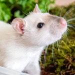 Een graafbak voor ratten